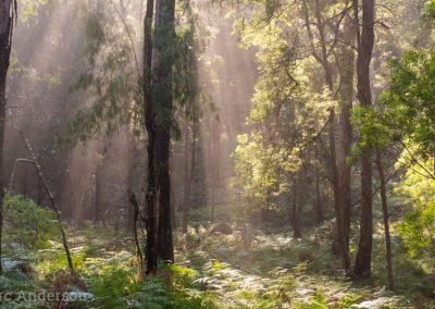 Misty eucalypt forest