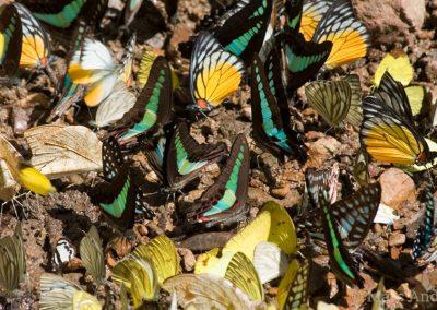 Butterflies on a salt lick