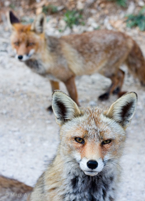 Male & female Red Fox, Cazorla national Park, Spain