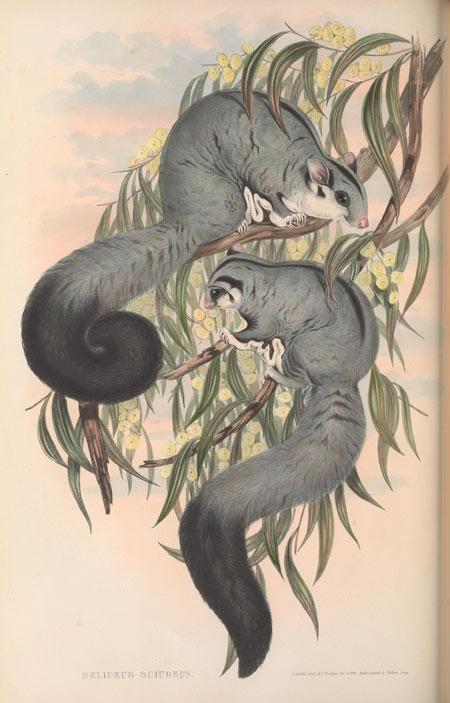 Squirrel Glider (Petaurus norfolcensis)