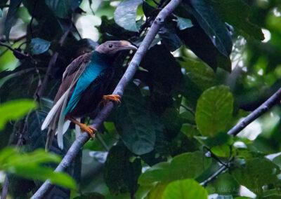 Standardwing Bird-of-Paradise